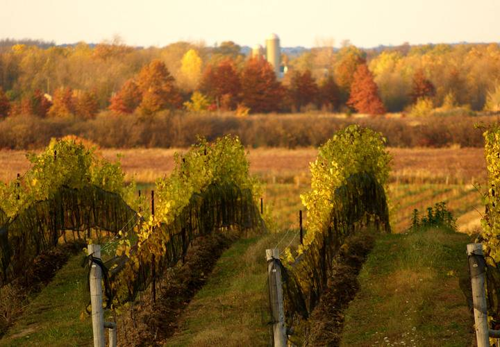 fall, vineyard, landscape, no person, tree, vine, agriculture, outdoors, grapevine, cropland, scenic, winery, countryside, nature, farm, wine, road, wood, dawn, sunset