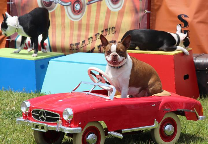 A dog takes the wheel during stunt show.