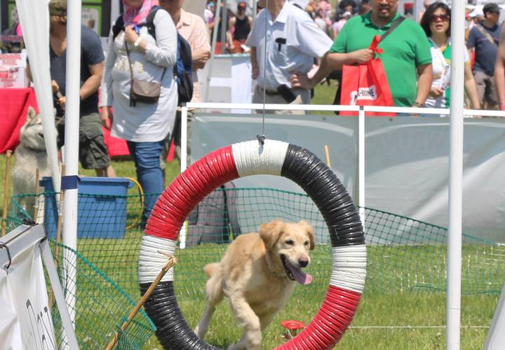 Dog steps up to the challenge during the obstacle race.