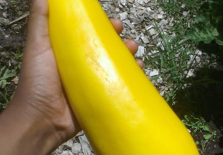 Fresh Yellow Zucchini Grown at the Garden