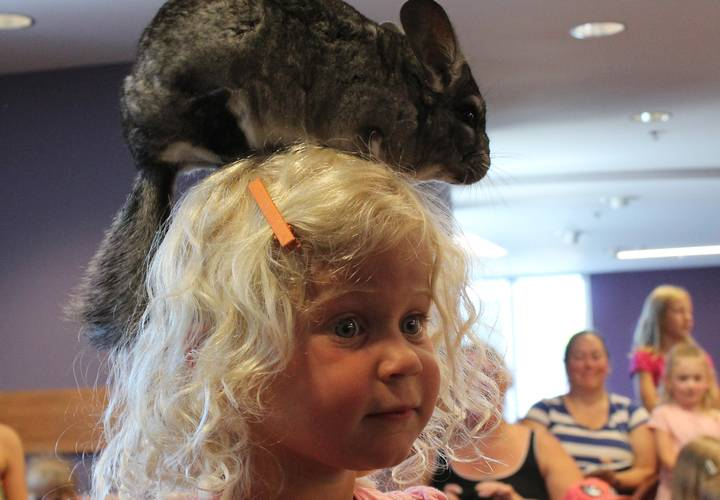 Not quite sure about her new head gear, Fergie the chinchilla.
