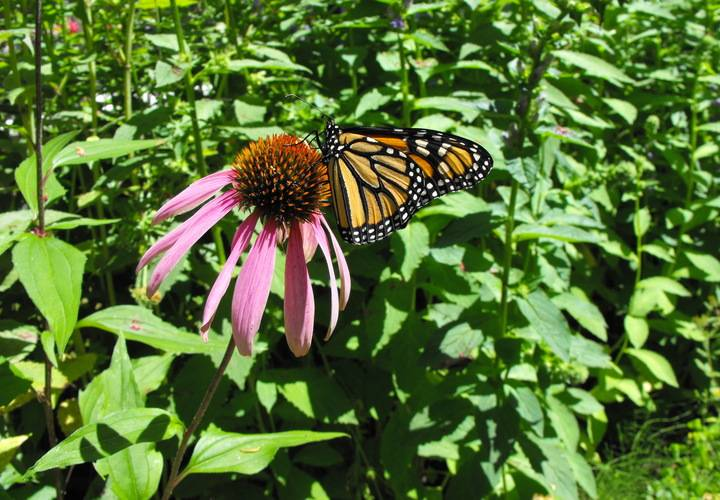 Butterfly monarch on cone flower
