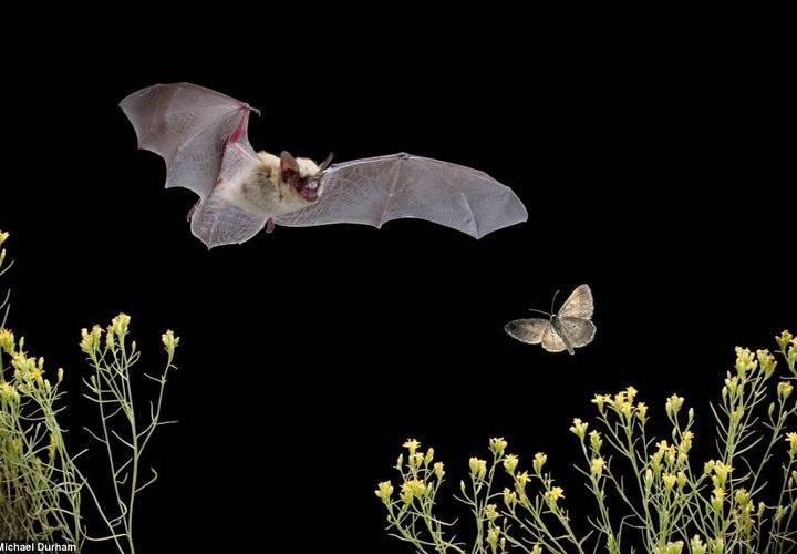 Big brown bat chasing moth 2