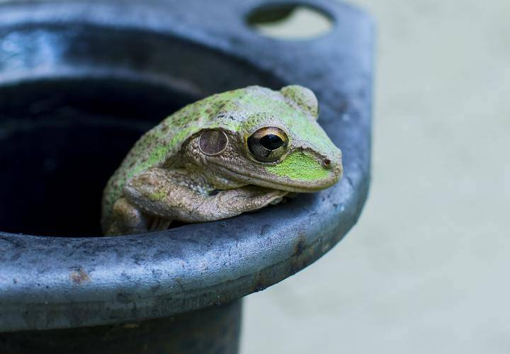 Greenfrog in bucket