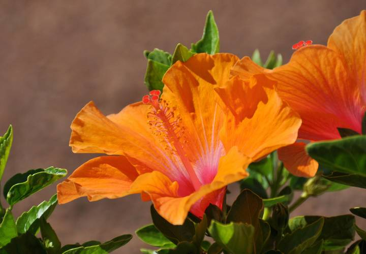 Orange hibiscus 1024x640