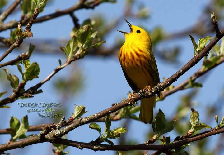 Yellow warbler by derek dafoe