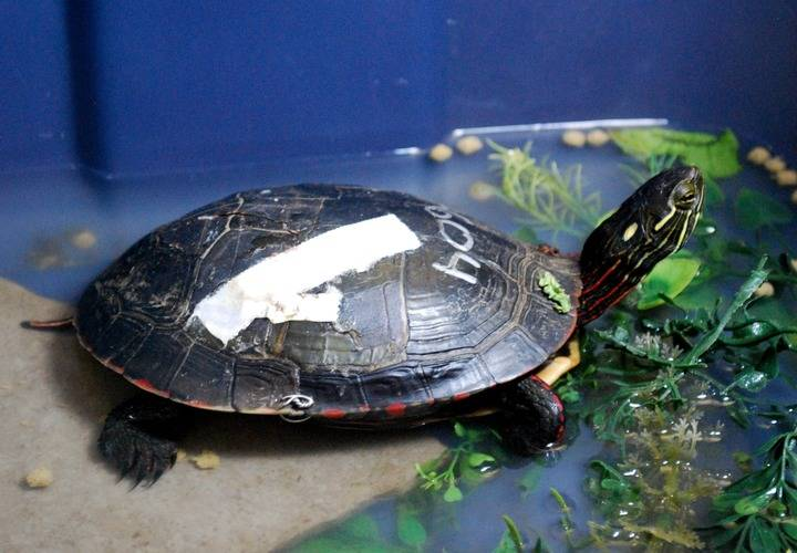 Injured Painted Turtle